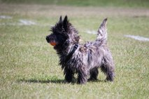 Hunter (Cairn Terrier)